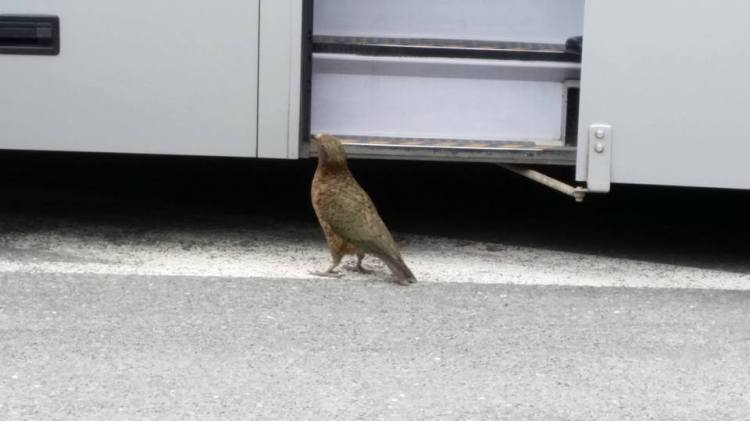 Naughty Kea eating the tour bus, Fiordland National Park.